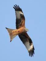 UNITED KINGDOM WALES NATIONAL BIRD RED KITE