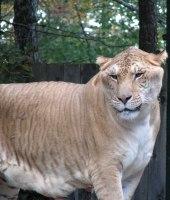 HYBRID LIGER LION TIGER