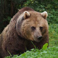 BROWN LIGHT BEAR