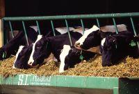 cows-hormone