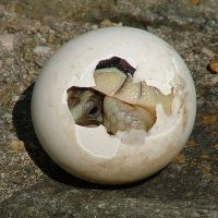 hatching-tortoise